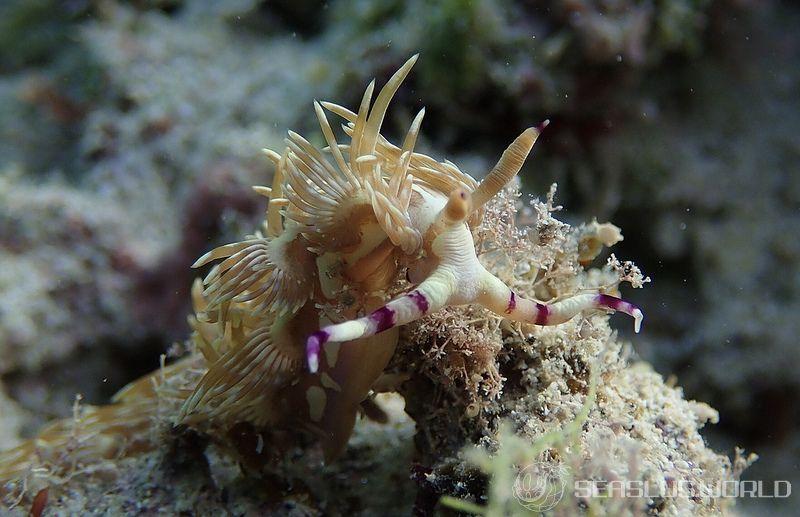 オオムカデミノウミウシ Pteraeolidia sp. 1
