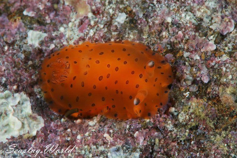 ヒメマダラウミウシ Dendrodoris guttata