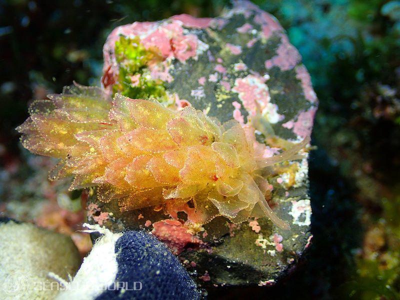 カンランウミウシ属の一種 2 Polybranchia sp. 2