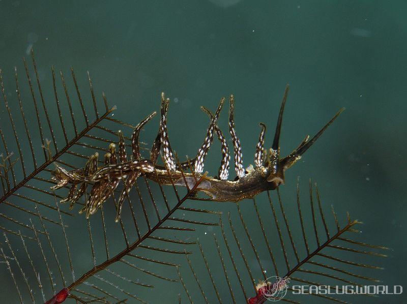 マツカサウミウシ属の一種 22 Doto sp.22