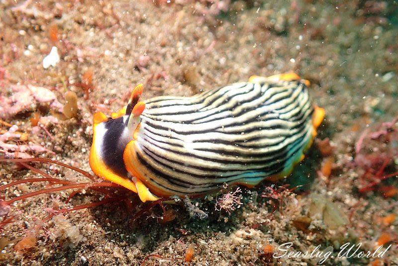 アカフチハスエラウミウシ Armina sp. 2