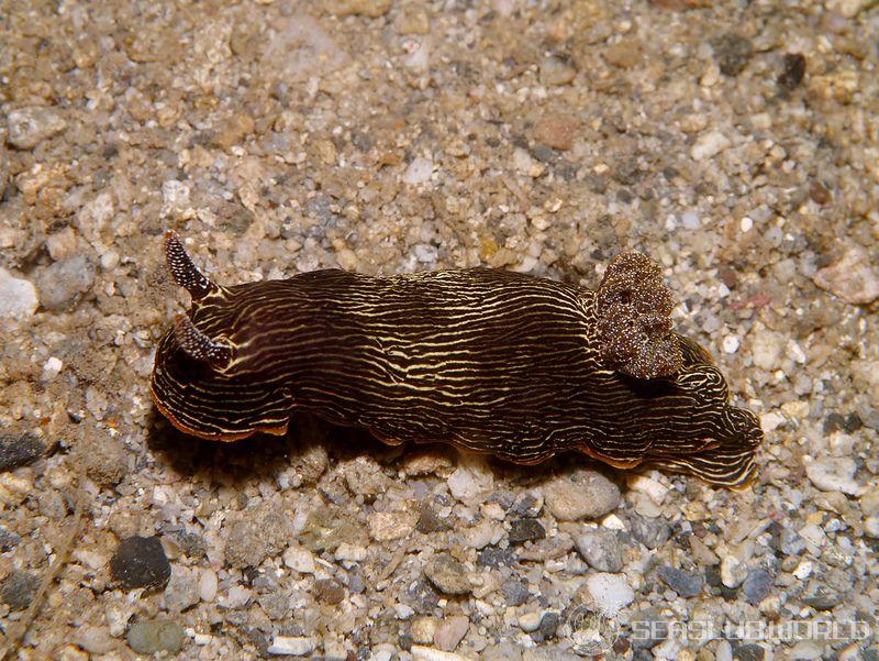 ホソスジイロウミウシ Chromodoris lineolata