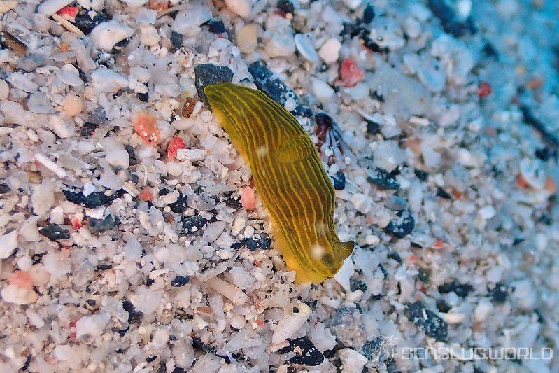 タスジキヌハダウミウシ Gymnodoris sp. 2