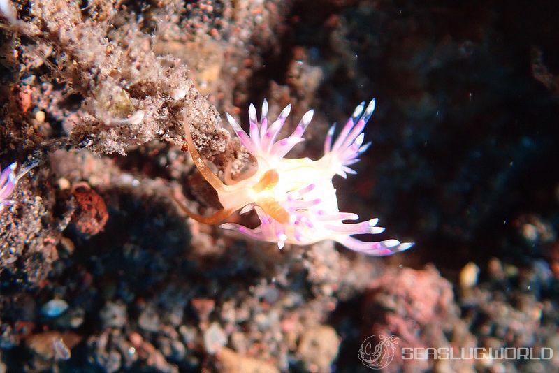 クマドリミノウミウシ Facelinid sp. 1