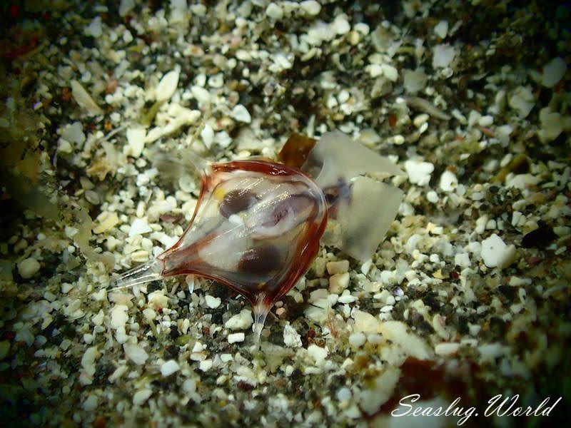 ヒラカメガイ Diacria trispinosa