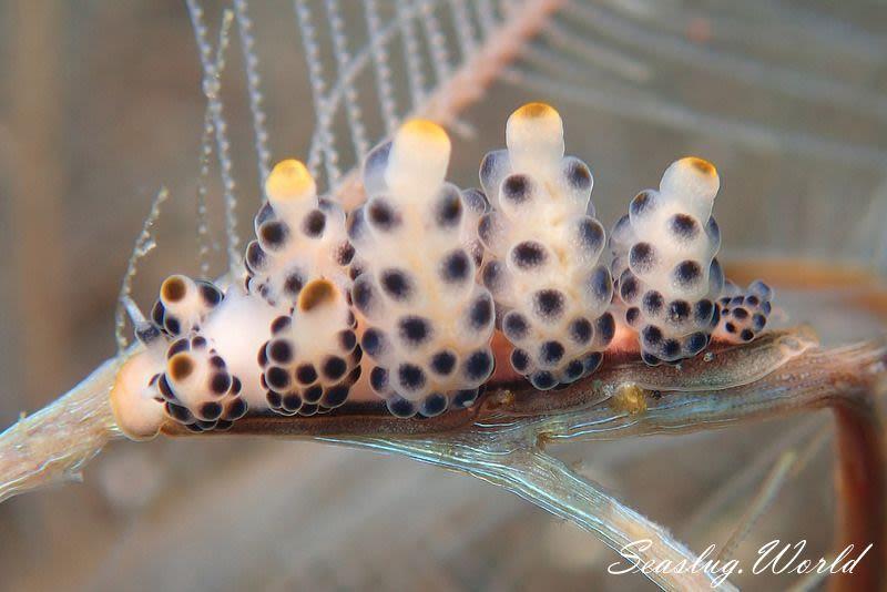 マツカサウミウシ属の一種 10 Doto sp.10