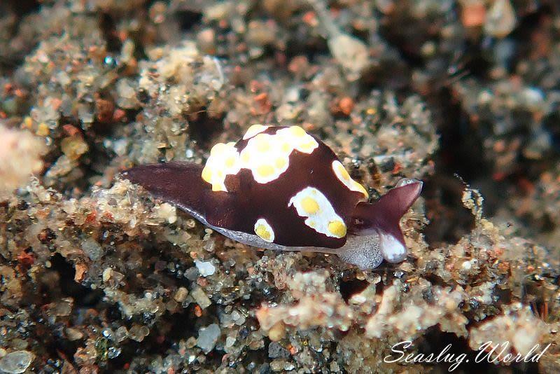 トンプソンアワツブガイ Colpodaspis thompsoni