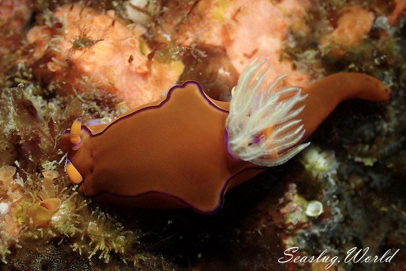 ハナエニシキウミウシ Ceratosoma sp. 3