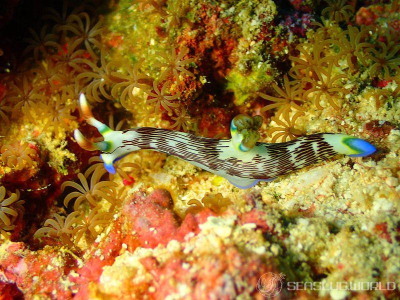 クロスジリュウグウウミウシ Nembrotha lineolata