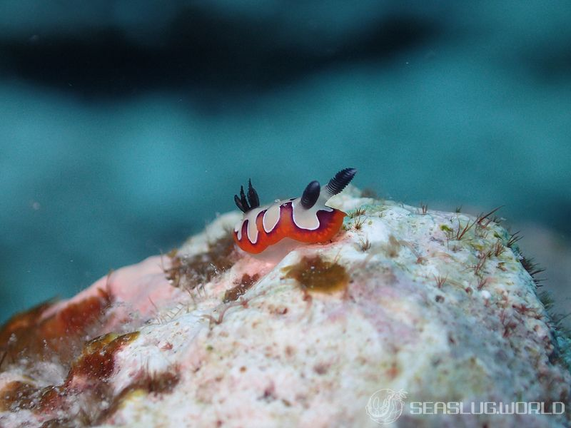 フジナミウミウシ Goniobranchus fidelis