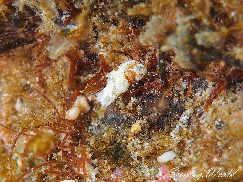 コクテンチョウチョウミドリガイ Phanerophthalmus perpallidus