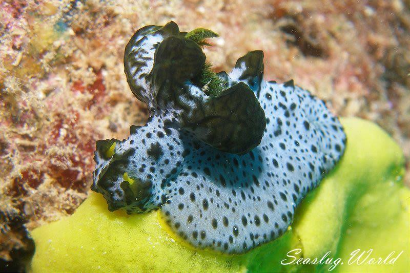 タチアオイウミウシ Notodoris serenae