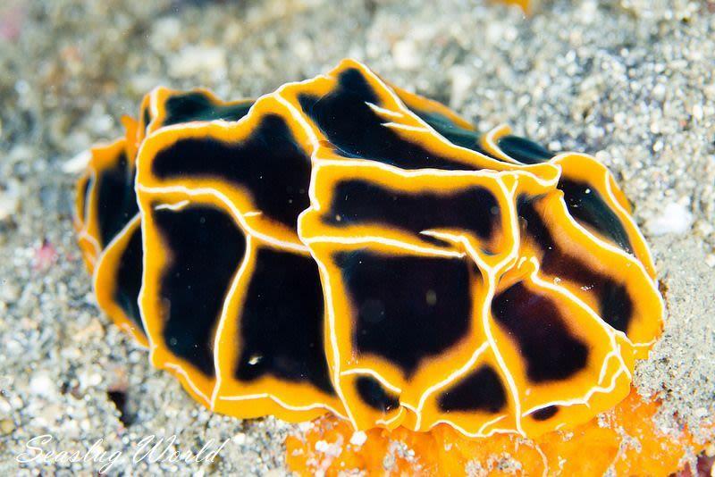 クロカブトウミウシ Reticulidia halgerda