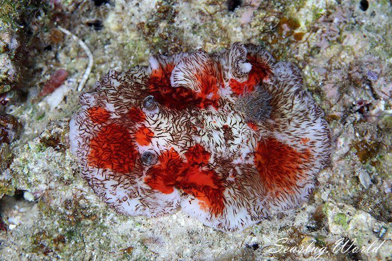 ユウゼンウミウシ Platydoris cruenta