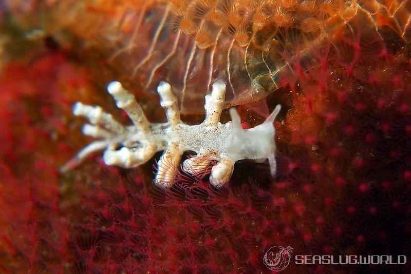 チビミノウミウシ Phestilla minor