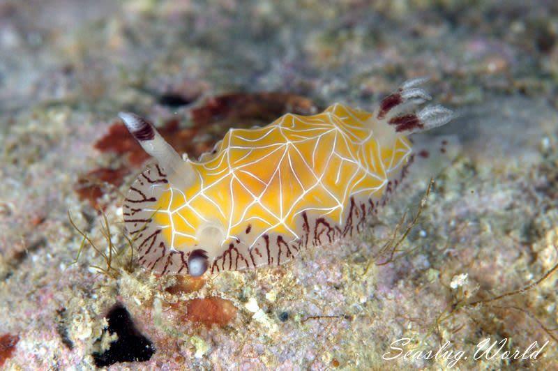 シロスジヒオドシウミウシ Halgerda albocristata