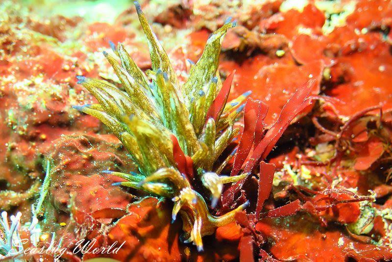 トウヨウモウミウシ Aplysiopsis orientalis