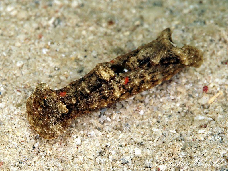 ミドリキセワタ Spinoaglaja sp. 1