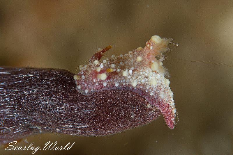 ベニフジセンヒメウミウシ Aegires sp. 1