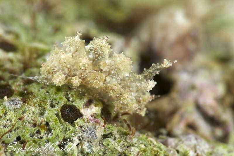 ハナサキコヤナギウミウシ Janolus sp. 3