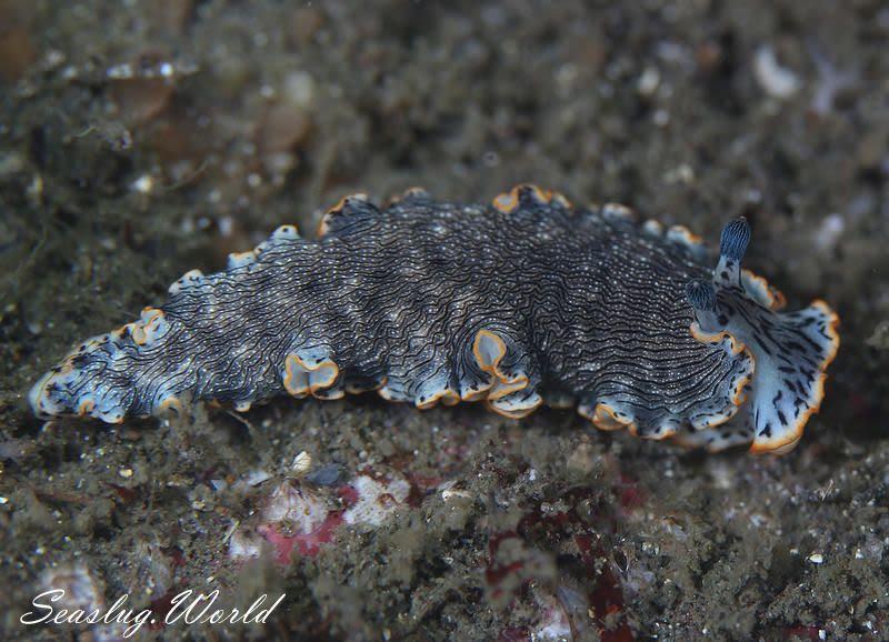 オセザキオトメウミウシ Dermatobranchus sp. 1