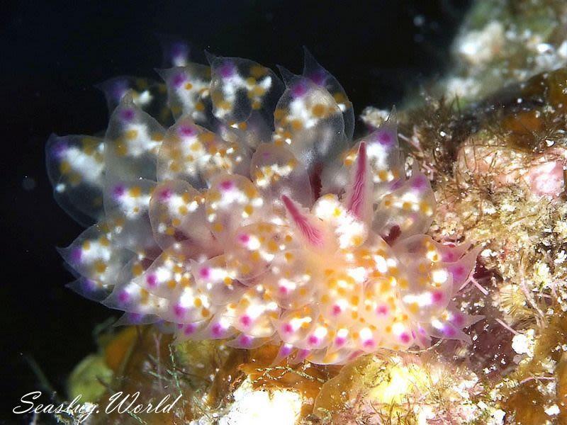 アカホシコヤナギウミウシ Janolus sp. 2