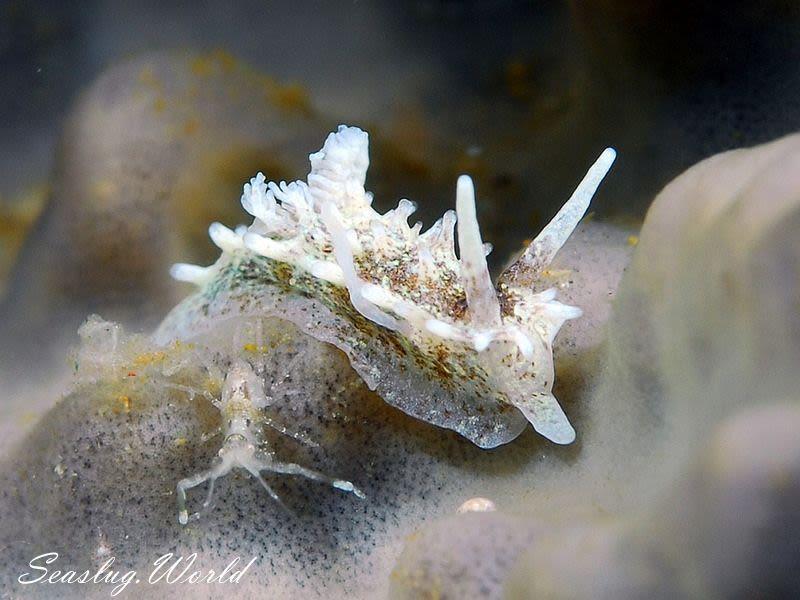 ムツイバラウミウシ Okenia distincta