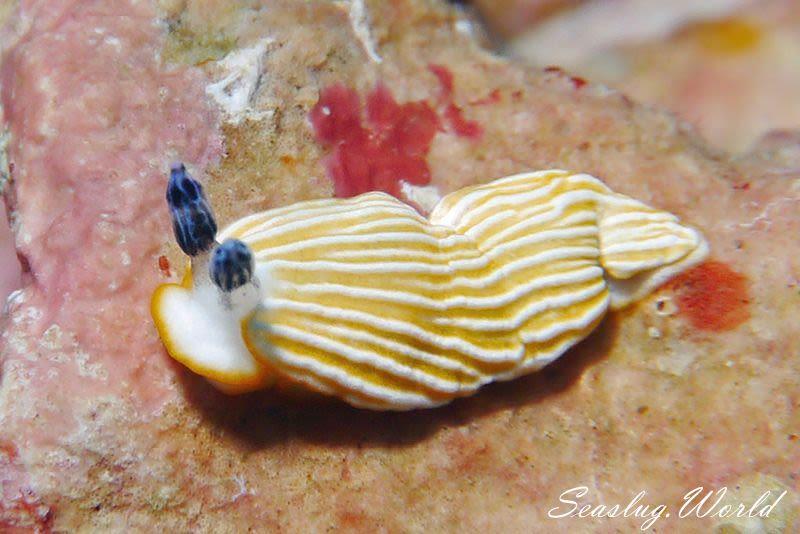 キシマオトメウミウシ Dermatobranchus albus