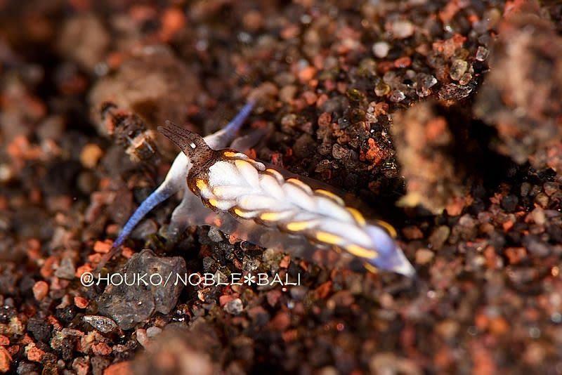 カスミミノウミウシ属の一種 9 Cerberilla sp. 9