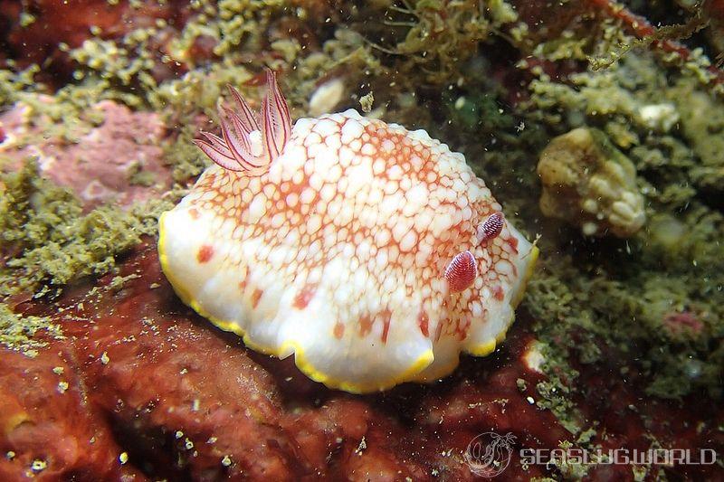 サラサウミウシ Goniobranchus tinctorius