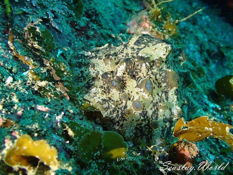 アマクサウミウシ Actinocyclus papillatus