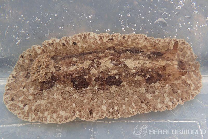 オオツヅレウミウシ Sebadoris fragilis