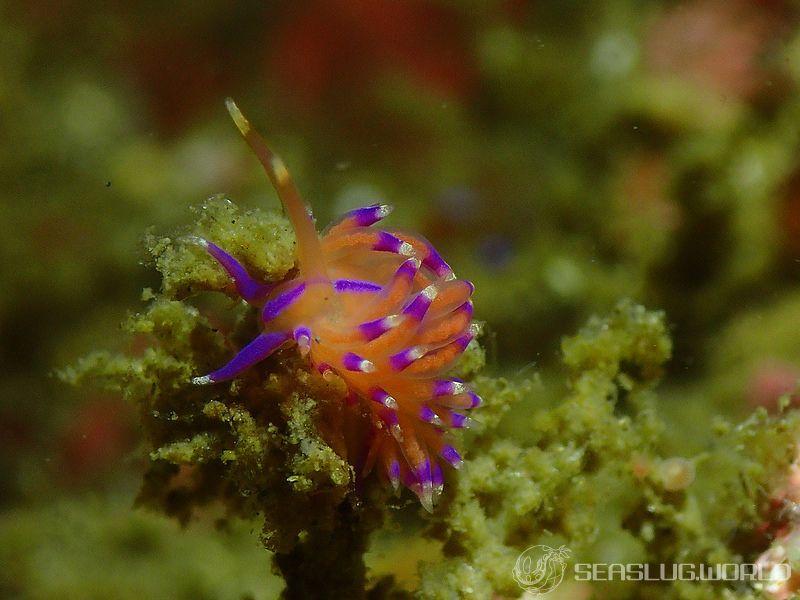 ニチロミノウミウシ Unidentia nihonrossija