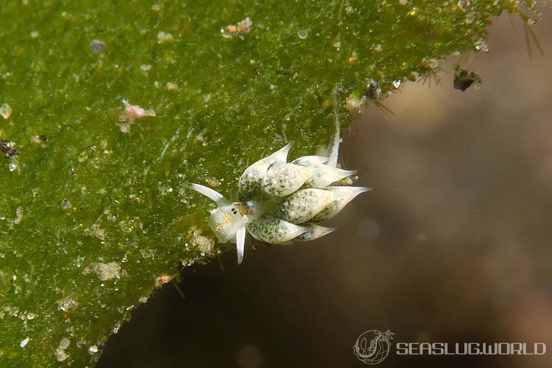 テングモウミウシ Costasiella kuroshimae