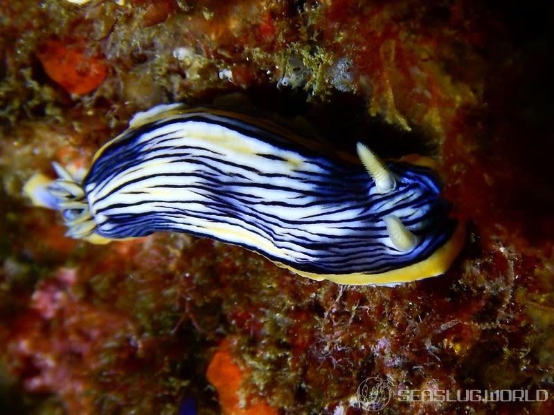 コンガスリウミウシ Chromodoris sp. 1
