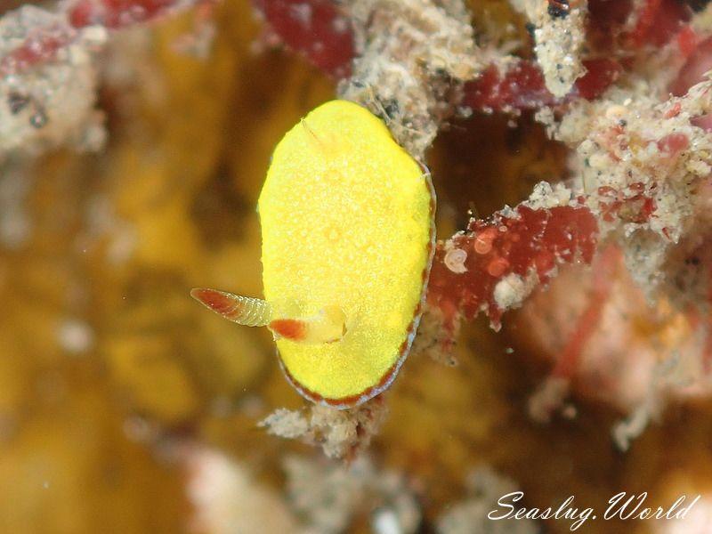 ホムライロウミウシ Goniobranchus albopunctatus