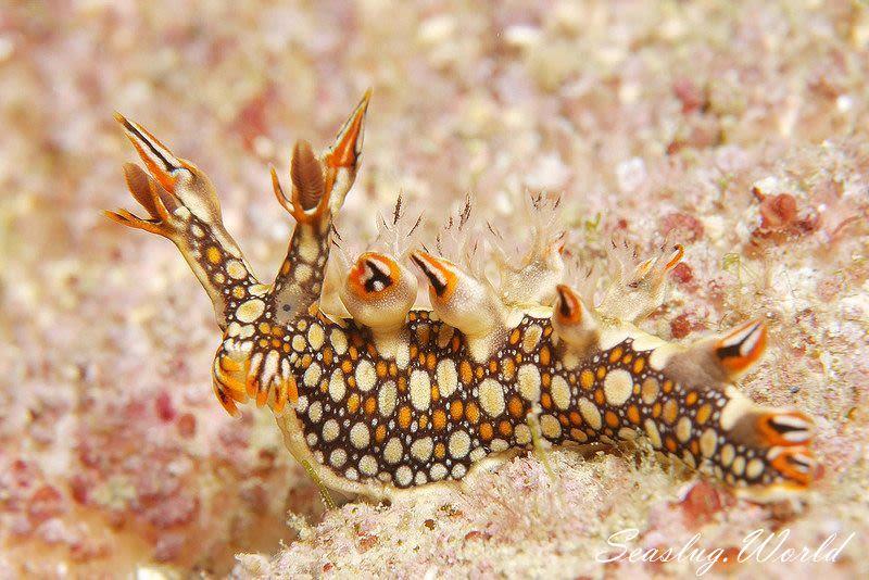 ヒオドシユビウミウシ Bornella anguilla