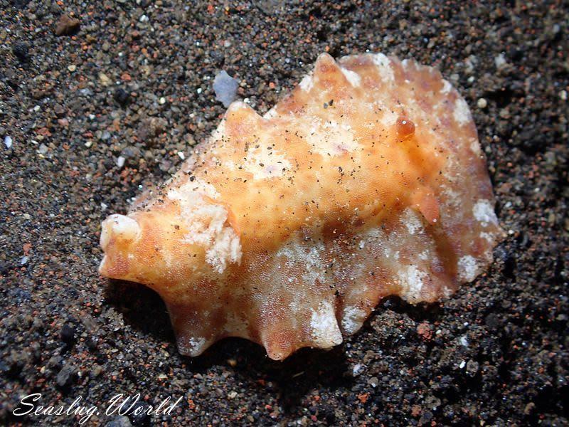 クモガタウミウシ属の一種 4 Platydoris sp. 4