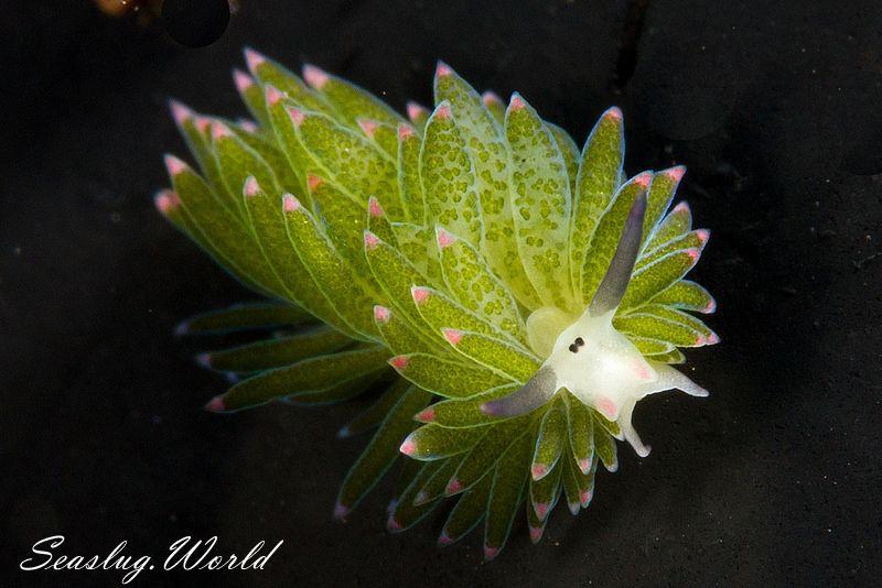 ホホベニモウミウシ Costasiella sp. 3