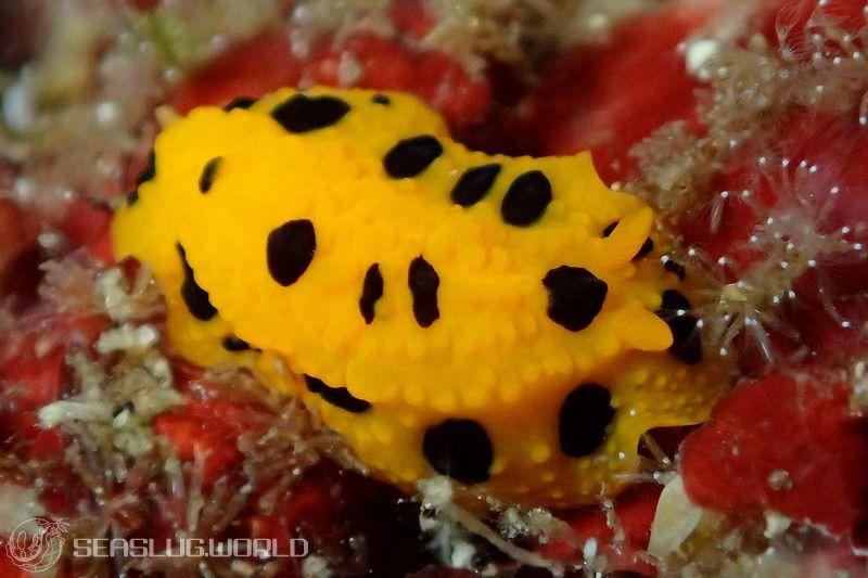 ポルカドットイボウミウシ Phyllidia polkadotsa