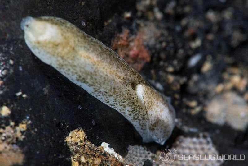 ファネロフタルムス・レティンギネス Phanerophthalmus lentigines