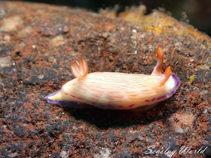 ヒュプセロドーリス・キャサリンアエ Hypselodoris katherinae