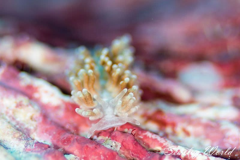 イボヤギミノウミウシ属の一種 3 Phestilla sp. 3