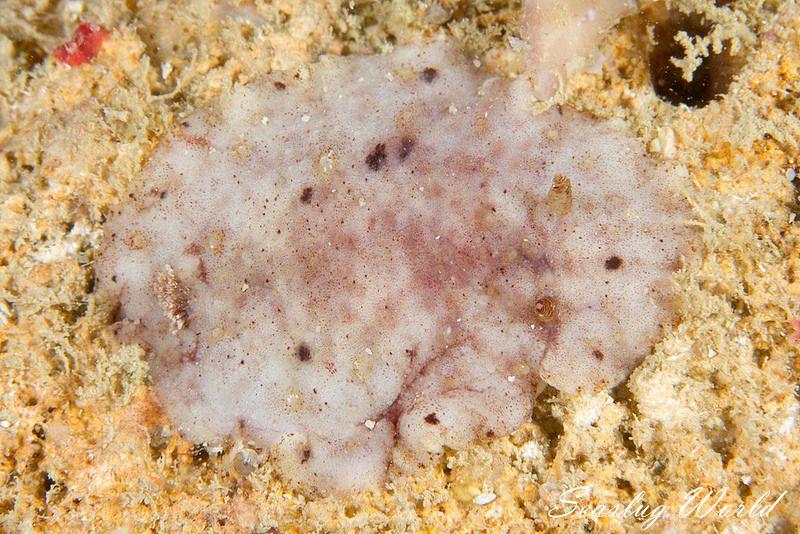 ドーリス上科の仲間 Doridoidea spp.