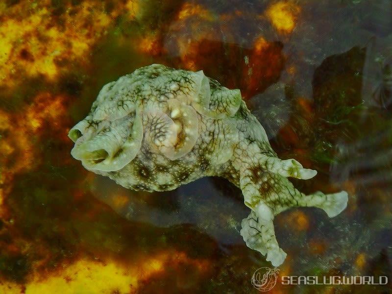 ジャノメアメフラシ Aplysia argus