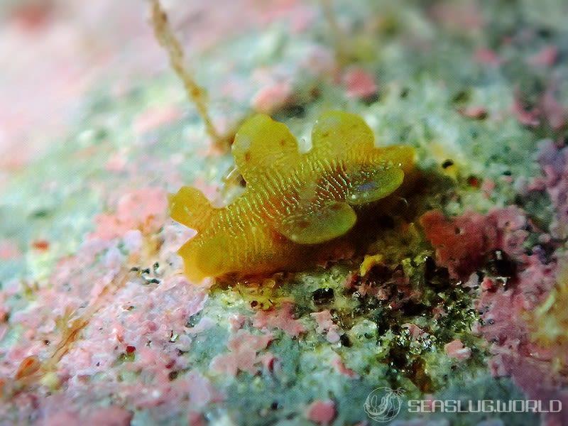 オキウミウシ Scyllaea pelagica