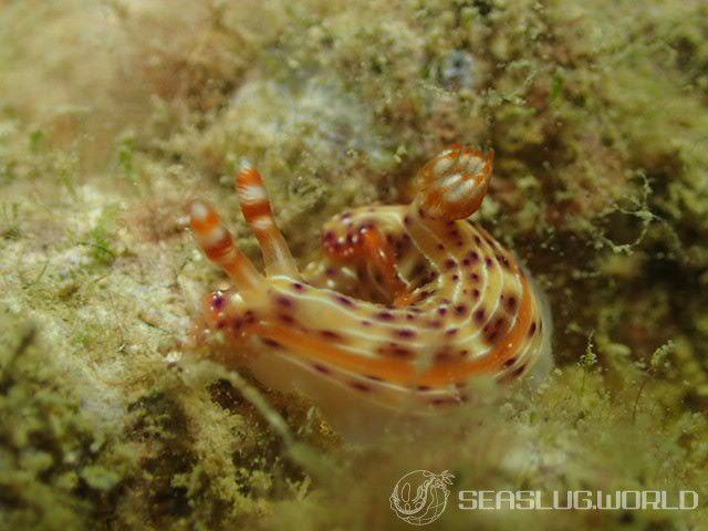 シロウネイロウミウシ Hypselodoris decorata