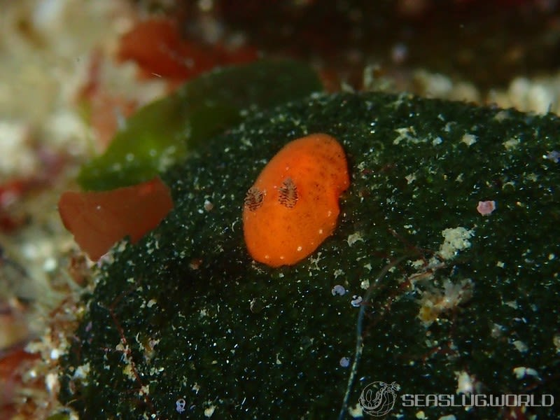 イソウミウシ Rostanga orientalis
