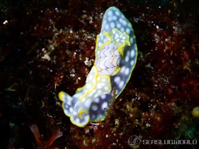 コンシボリガイ Micromelo undatus