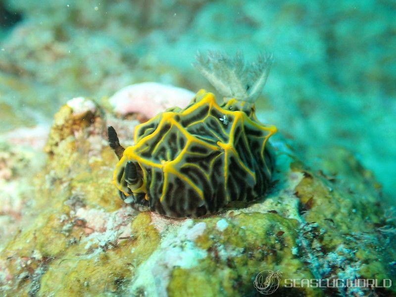 コヤマウミウシ Halgerda sp. 2
